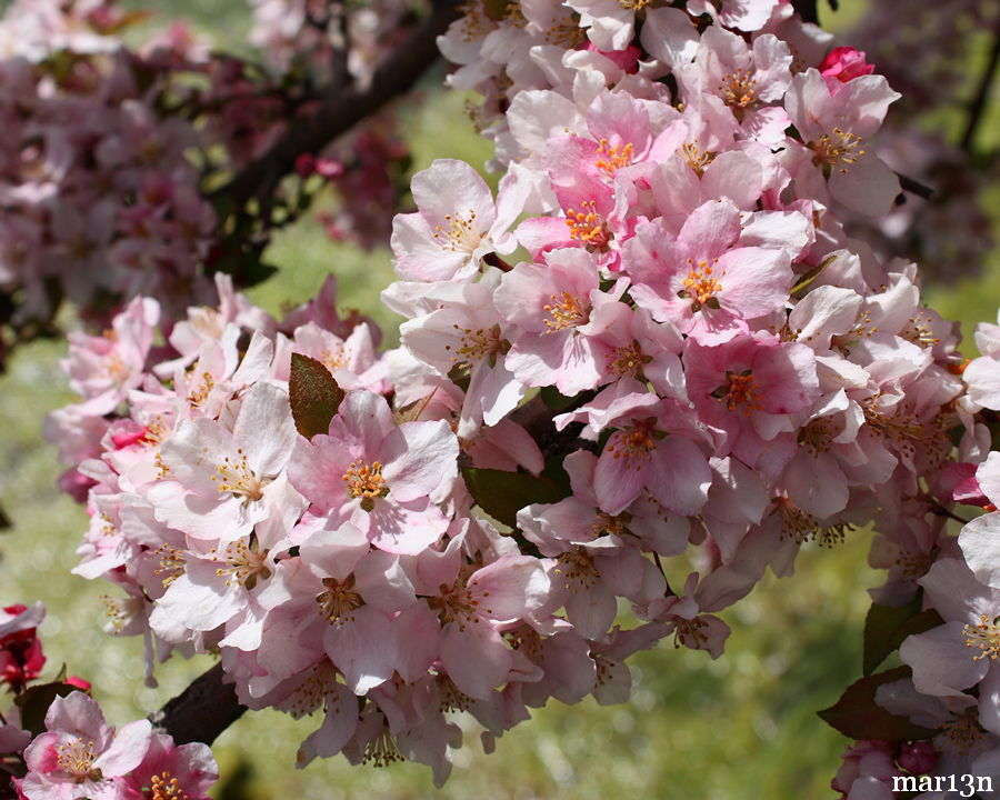 Prairie Maid Crabapple blossoms