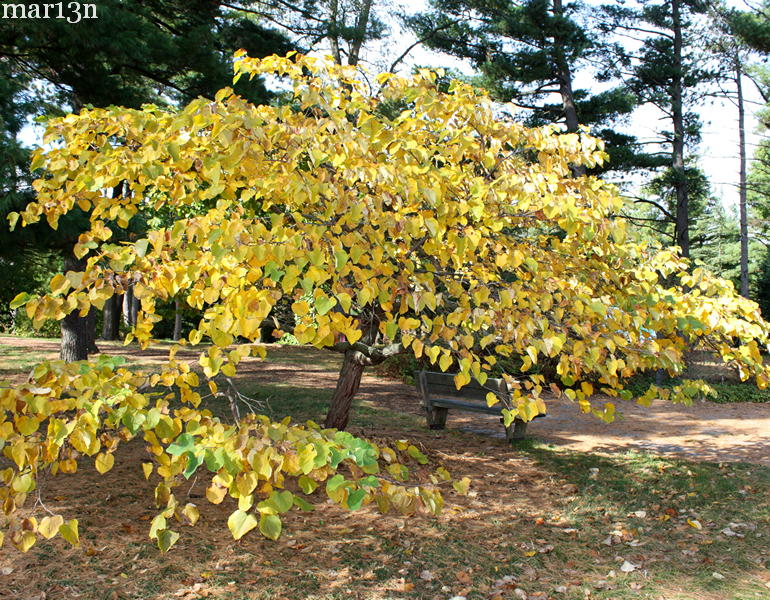 Redbud Fall Foliage