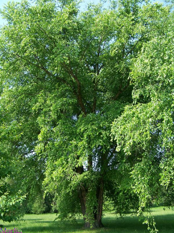 River Birch Tree