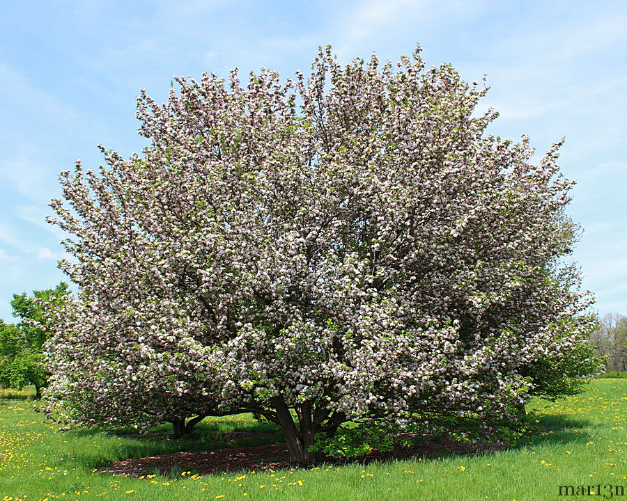Rivers Flowering Chinese Crabapple
