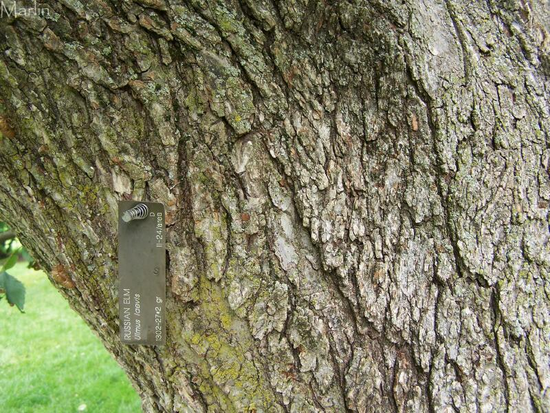 elm tree bark. Russian Elm Bark