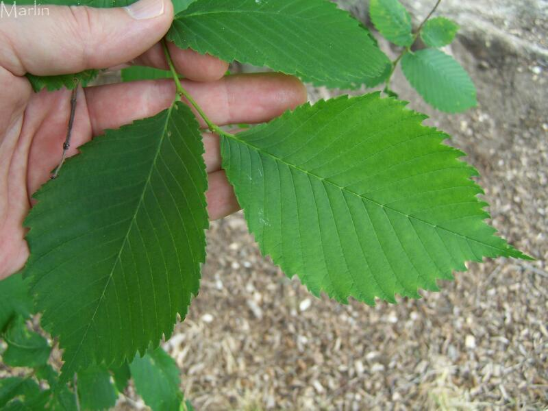 elm tree identification by bark. own trees and experiences.
