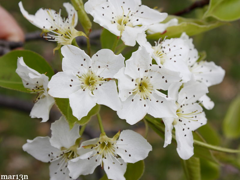Sand pear blossoms