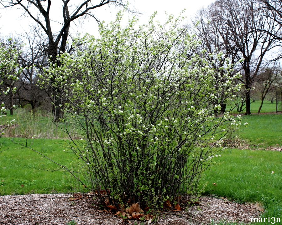 Saskatoon serviceberry amelanchier alnifolia thecheapjerseys Choice Image