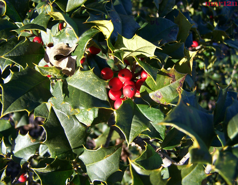 Satyr Hill American Holly Foliage
