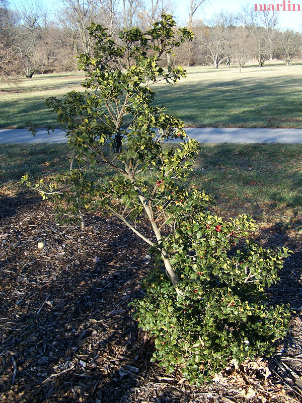 Satyr Hill American Holly Tree