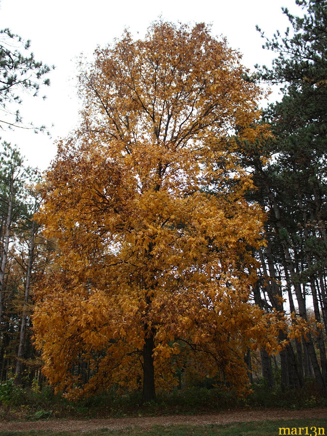 Shagbark Hickory in yellow fall colors
