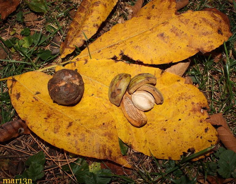 Shabark Hickory nuts and fall foliage