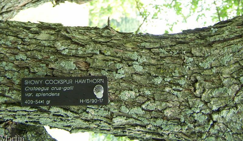 Hawthorn Tree Bark Showy Hawthorn Bark