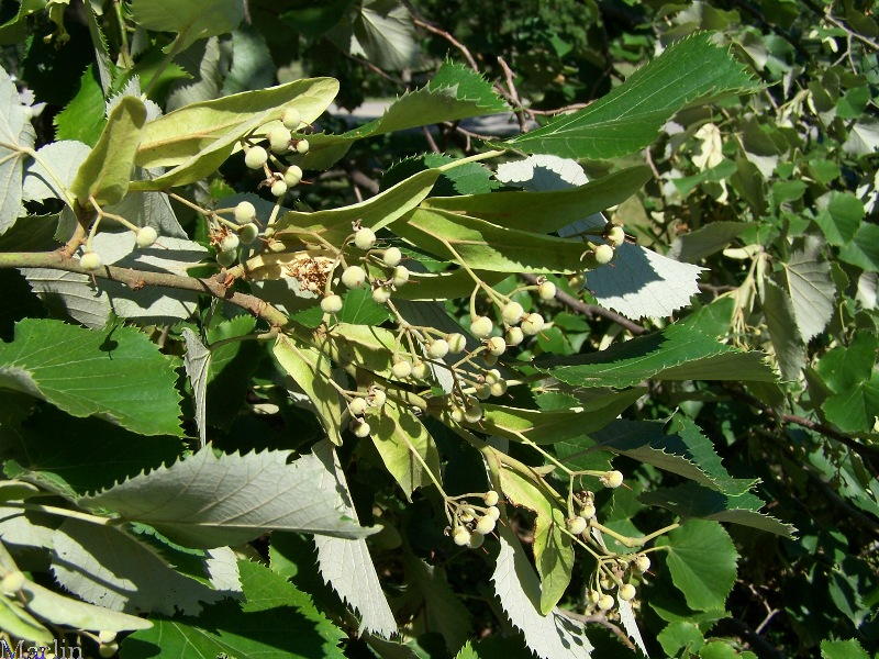 Linden bracts and nutlets
