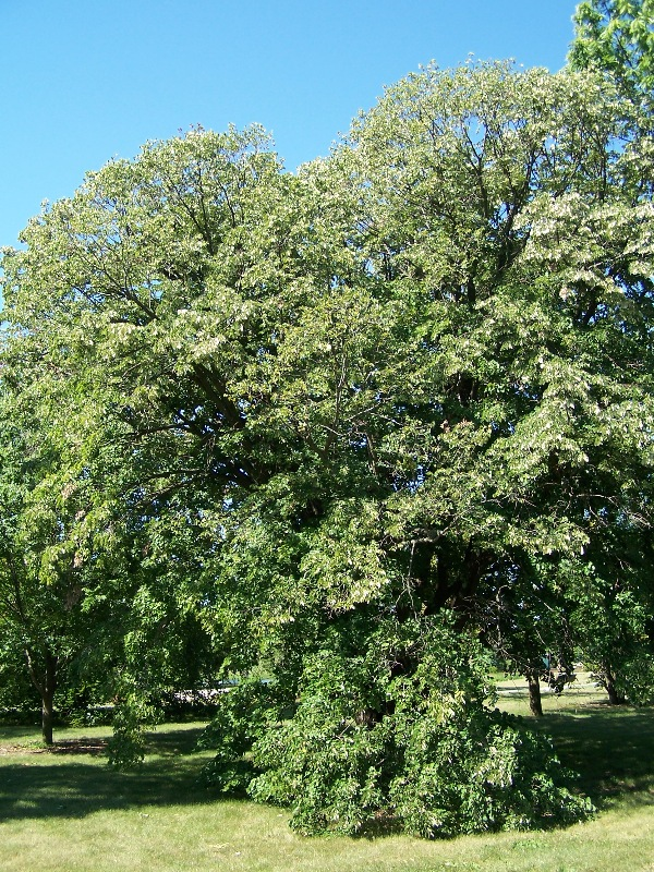 Silver Linden - Tilia tomentosa