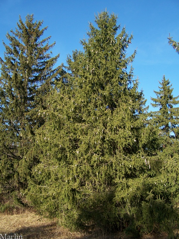 Norway Spruce - Picea abies