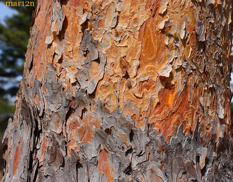 Eponymous Red Pine Bark