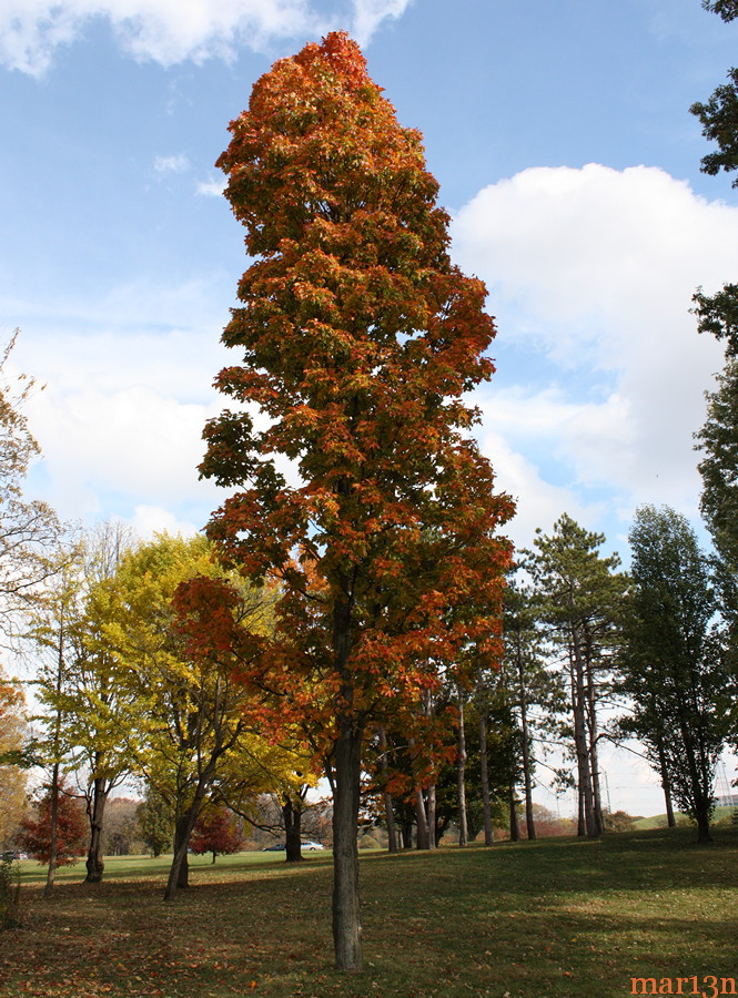 Temple's Upright Sugar Maple in fall colors
