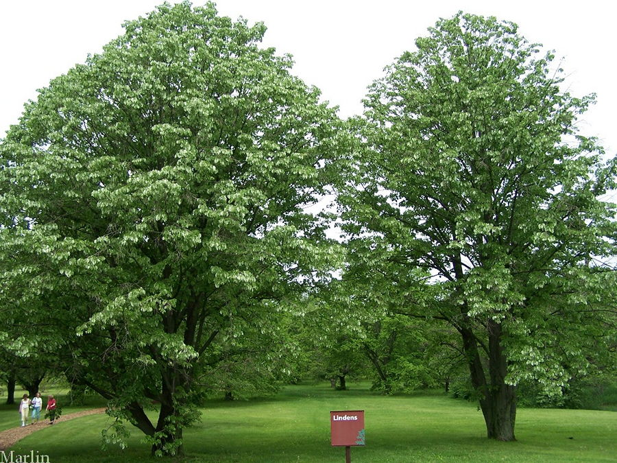 Upright Silver Linden trees