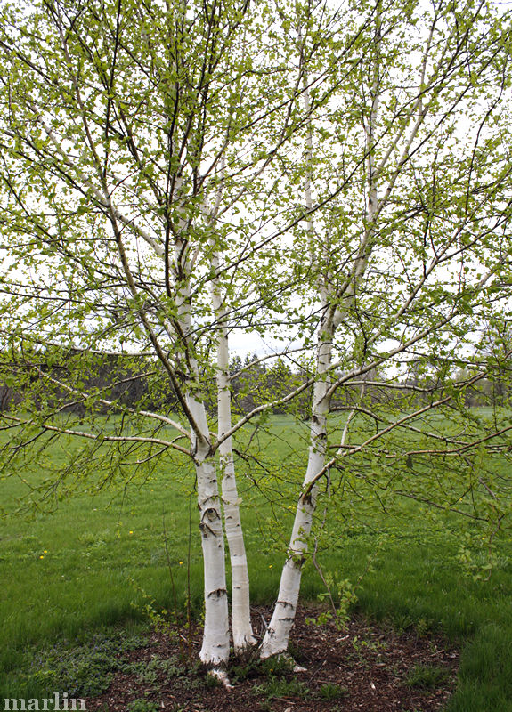 White Satin Birch Trees