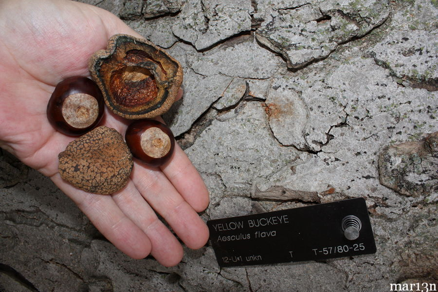 yellow buckeye conkers and bark