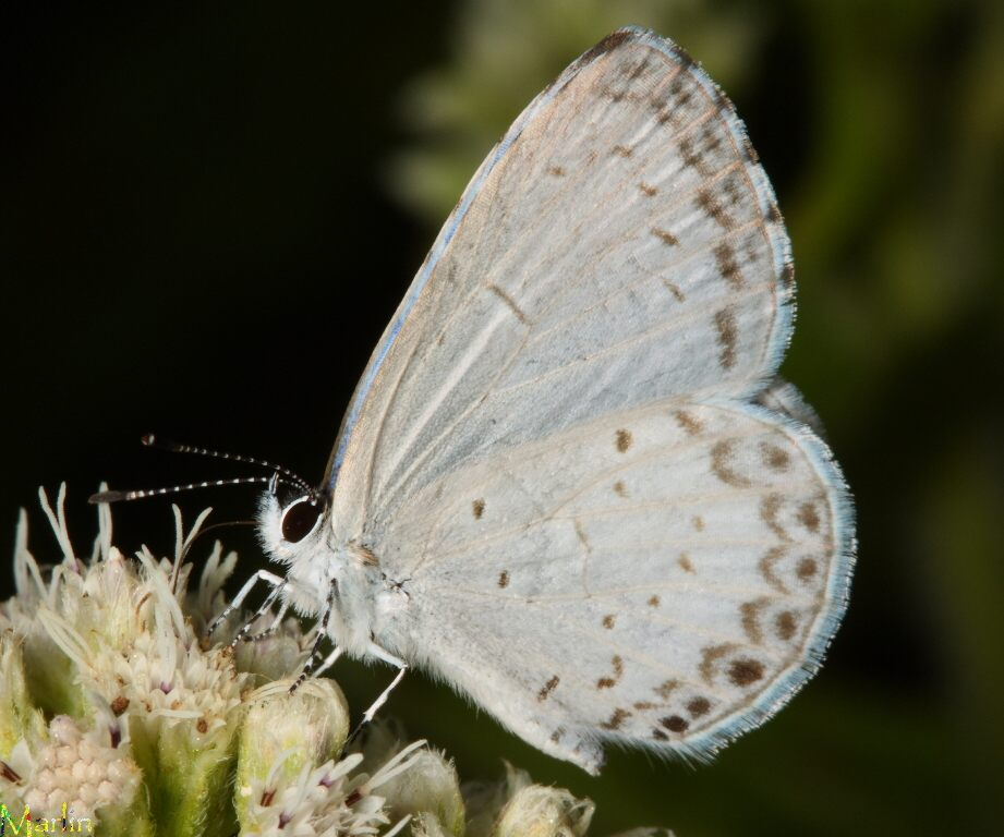 Summer Azure Butterfly - Celastrina neglecta