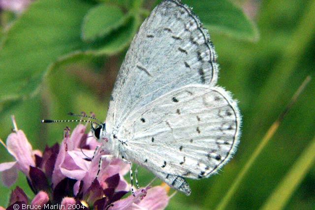 صور الفراش Spring_azure_butterfly_4