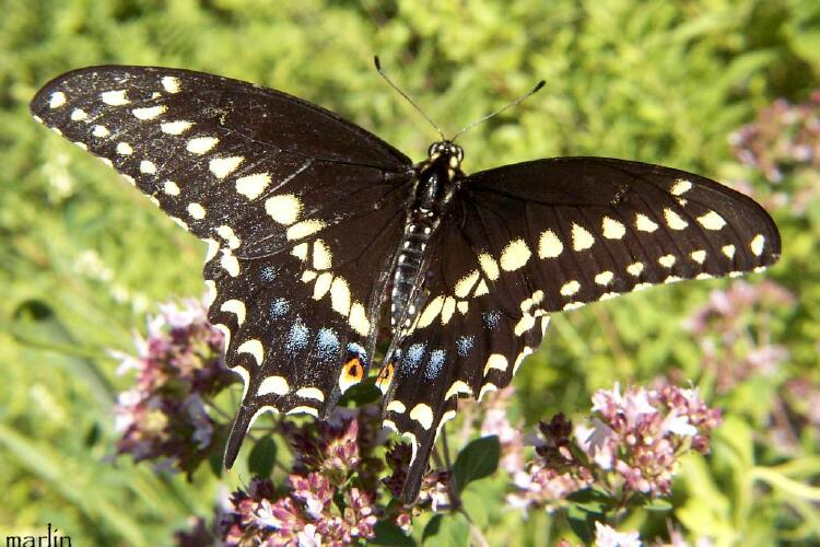 Eastern Black Swallowtail Butterfly - Papilio polyxenes