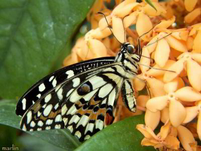 Checkered Swallowtail