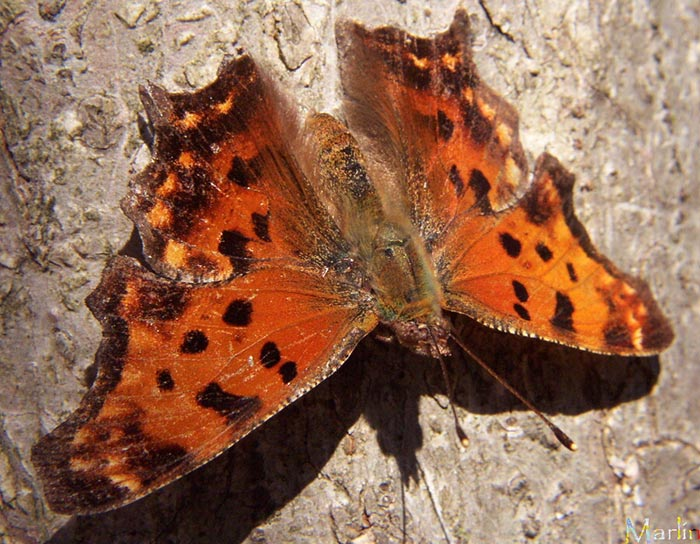 Eastern Comma Butterfly Polygonia Comma North American