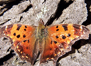 Gray Comma Butterfly