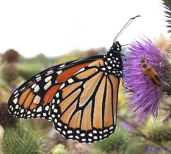 butterfly pictures genus species - Monarch 3