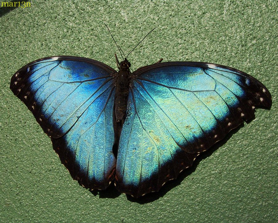 Common Morpho dorsal view