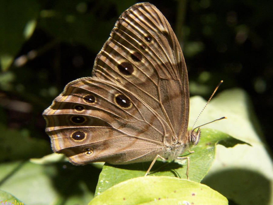 Northern Pearly Eye Butterfly - Enodia anthedon