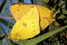 Orange Sulphur mated pair