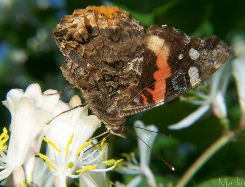 Red Admiral Butterfly lateral