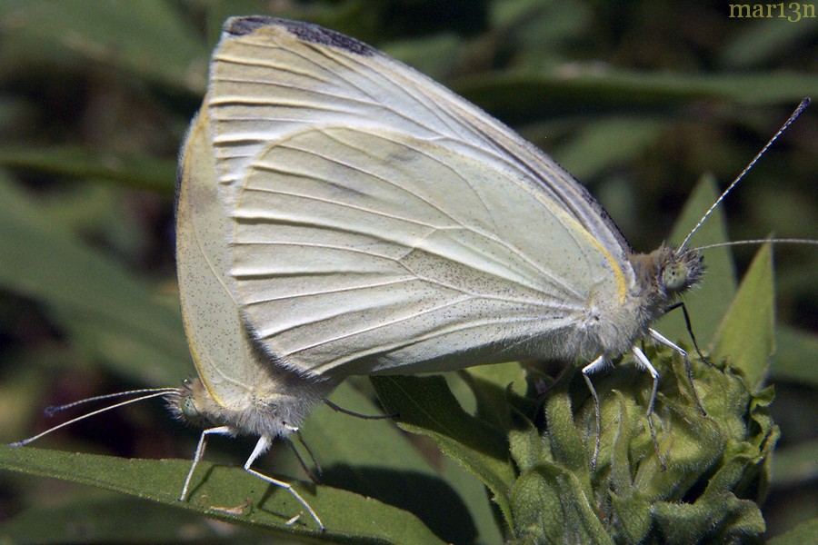 Cabbage White Butterfly mated pair