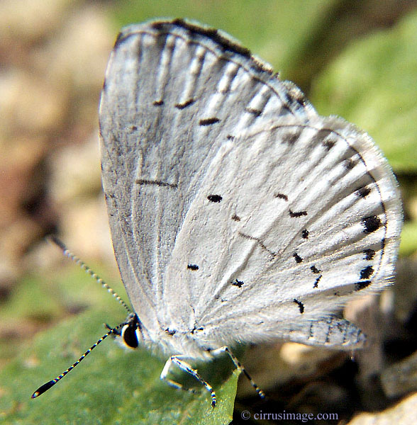 Butterfly pictures genus species - Summer Azure 6