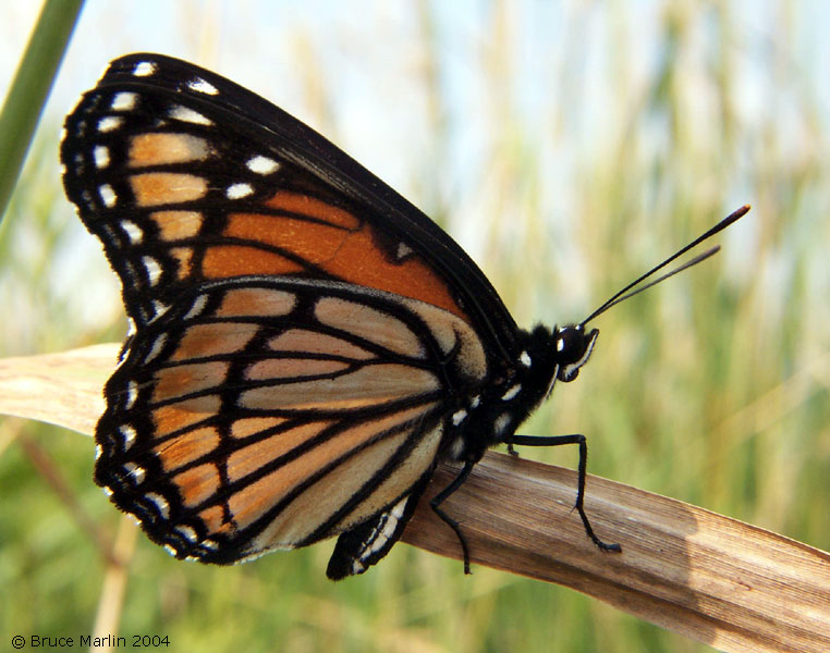http://www.cirrusimage.com/butterfly/viceroy_06.jpg