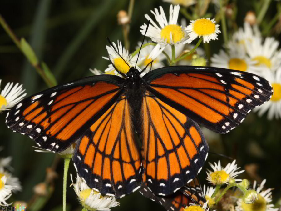 Female Viceroy Butterfly