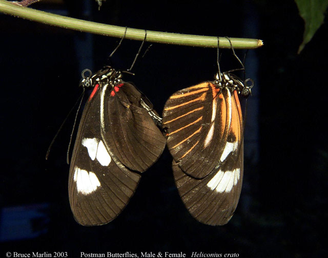 Butterfly genus species - Postman 3