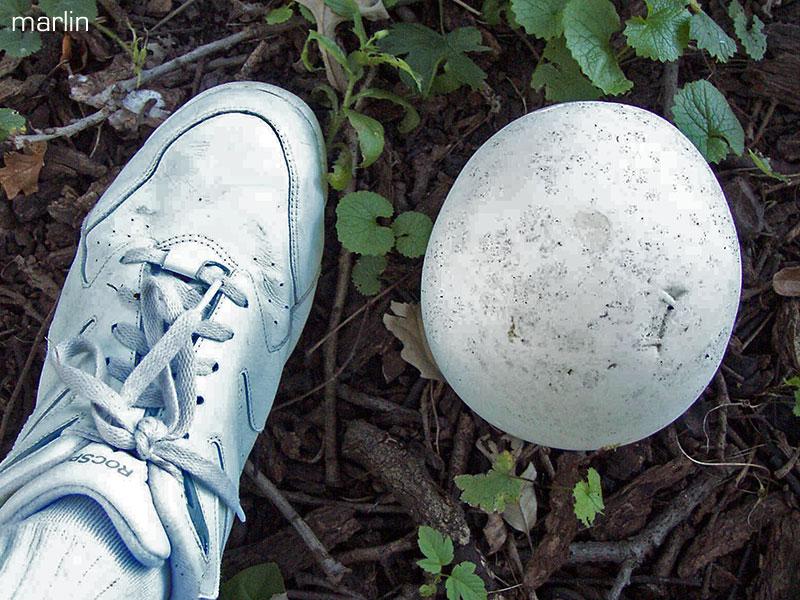 puffballs fungi