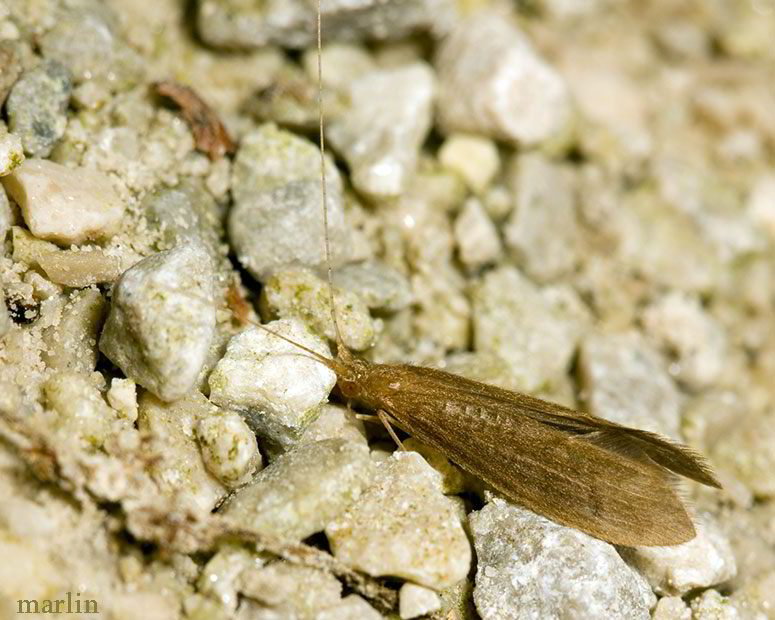 well-camouflaged caddisfly