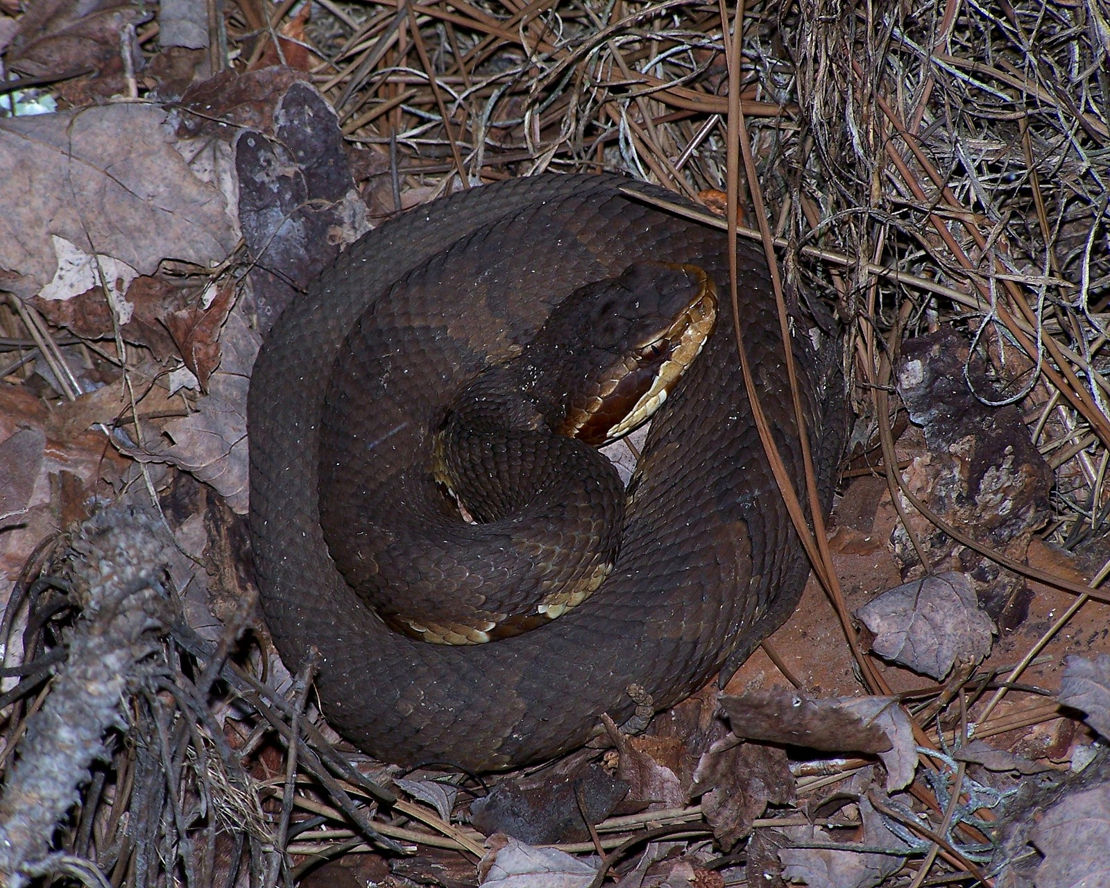 Coiled Cottonmouth Snake