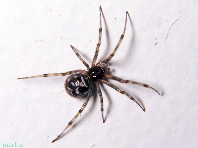 how to get rid of cobweb spiders