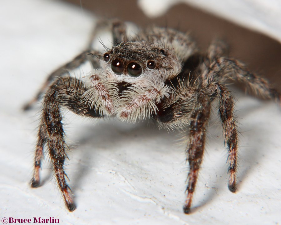 Family Salticidae - Jumping Spiders - North American Insects & Spiders