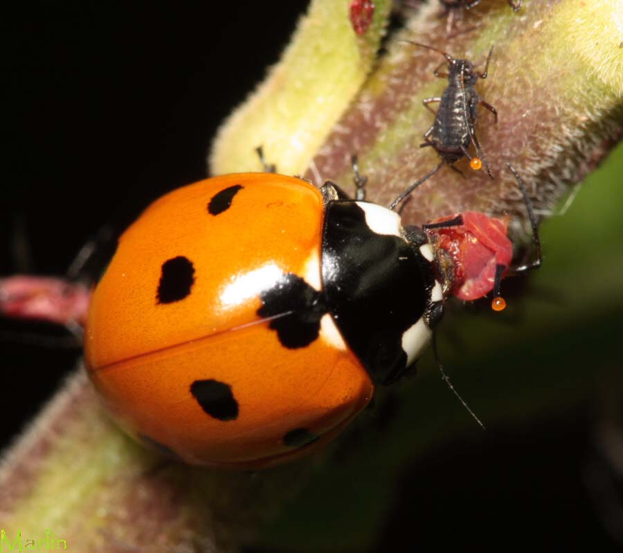 seven spotted lady beetle eats an aphid north american insects spiders. Black Bedroom Furniture Sets. Home Design Ideas