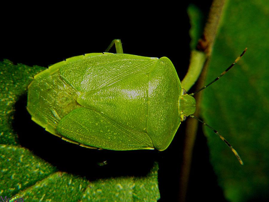 green stink bug acrosternum hilare north american