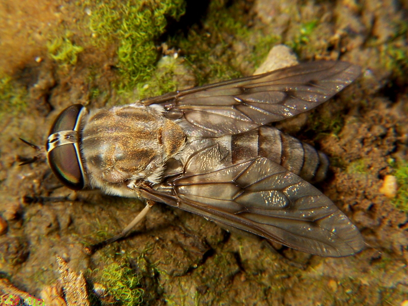 Horse Fly - Tabanus sulcifrons