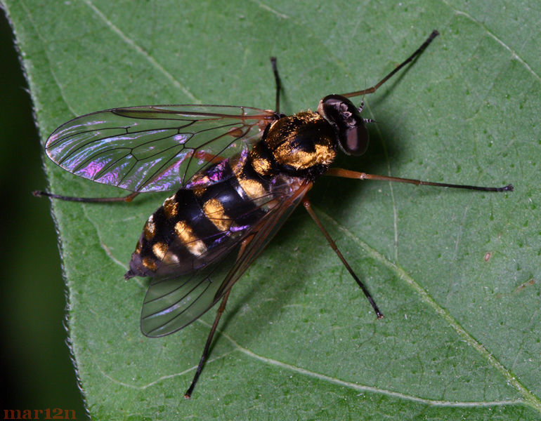 Ornate Snipe Fly - Chrysolpolis ornatus