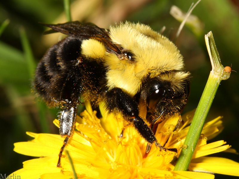 drones bees with Hymenoptera Bumblebee Queen on Happens Queen Bee Dies 5159216 likewise The Drone Male Bee as well Swarm additionally Laying Workers furthermore Balarama.