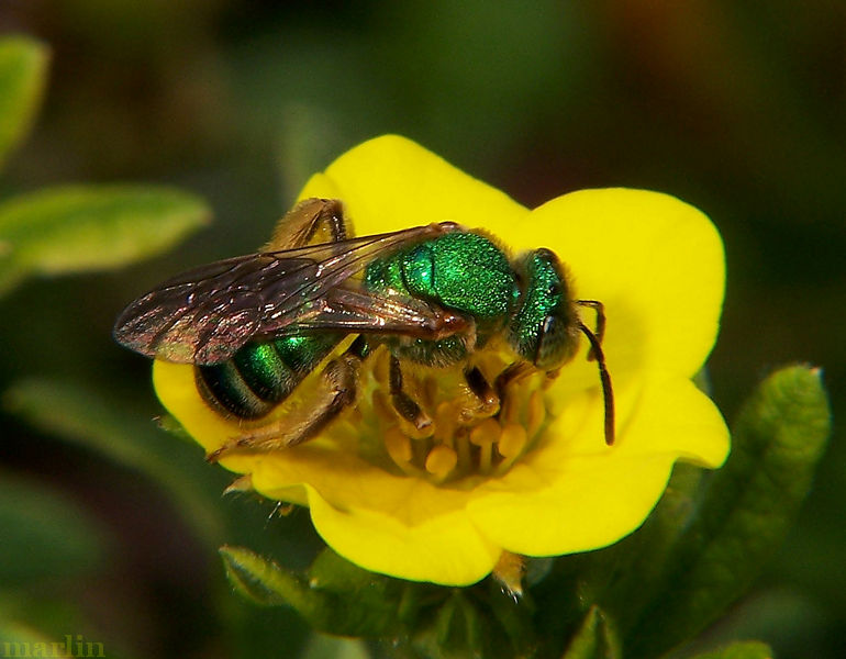 Halictid Bee - Agapostemon virescens
