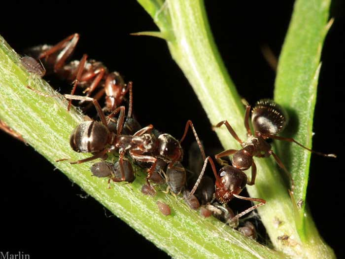 "Herding aphids: ants tend an aphid ""farm"""