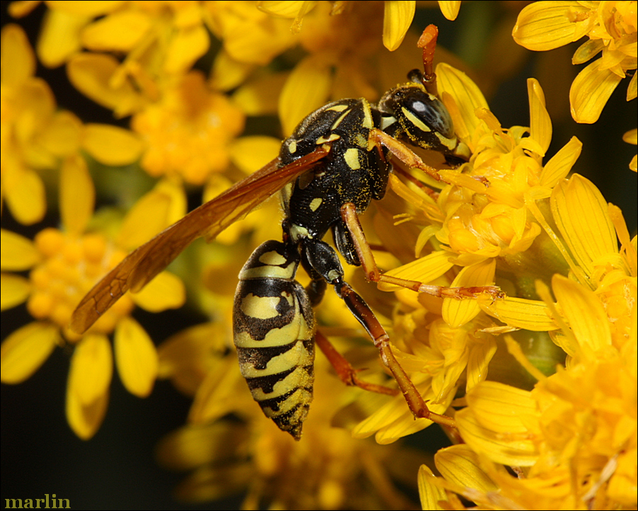 Polistes dominula is covered with goldenrod pollen